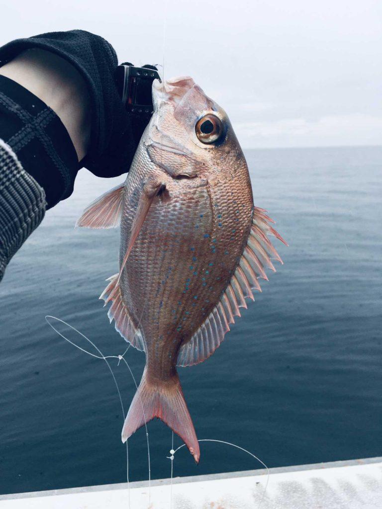 若狭湾で釣り上げた真鯛
