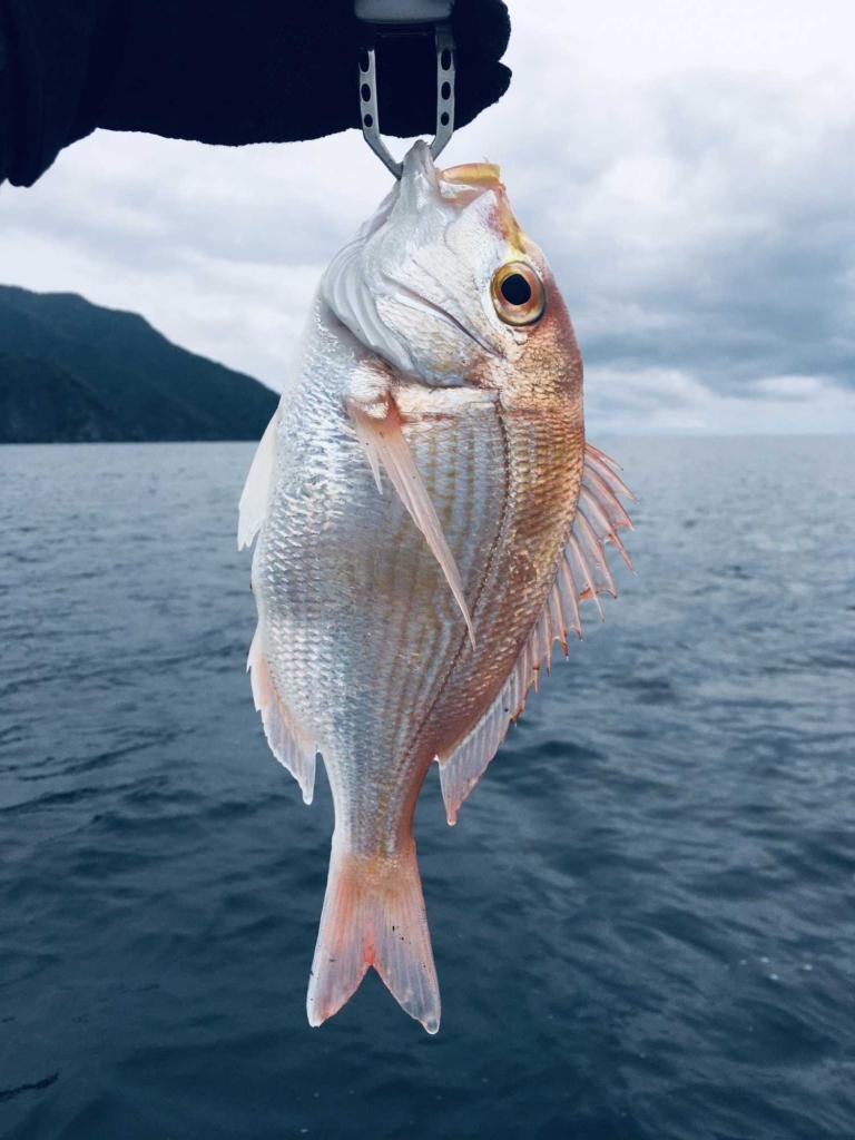 若狭湾で釣り上げた連子鯛